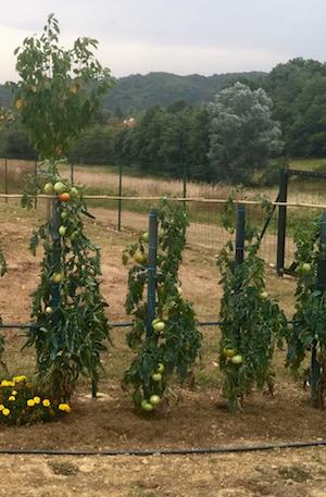 tomaten-van-de-buurman